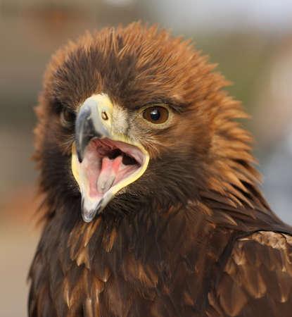 A Golden Eagle calling Stock Photo