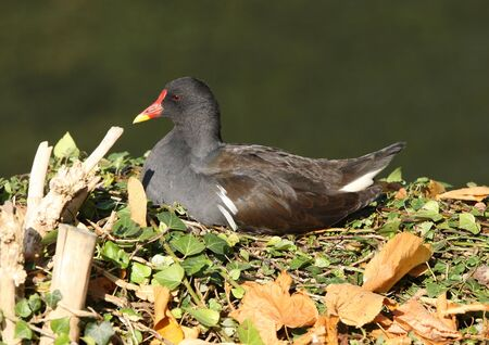 Portrait of a male Moorhen Stock Photo - 6668579