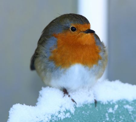 perching: Robin perched in the snow