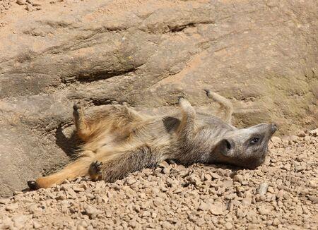 Young Meerkat sunbathing Stock Photo - 6881853