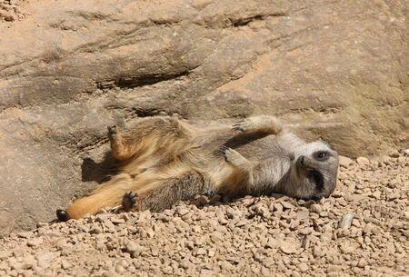 Young Meerkat sunbathing