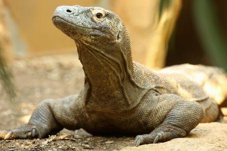 komodo: Ritratto di un drago di Komodo  Archivio Fotografico