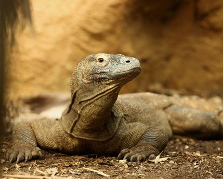 Portrait of a Komodo Dragon photo