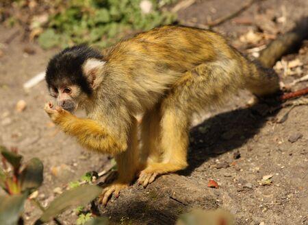 Squirrel Monkey feeding