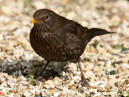Portrait of a female Blackbird Stock Photo - 7024461