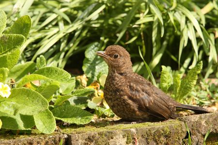Young Blackbird enjoying the Springtime sun Stock Photo - 7024472