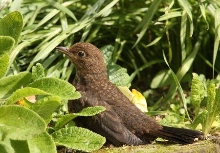 A young Blackbird enjoying the Springtime sun