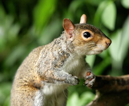 Portrait of a Grey Squirrel Stock Photo - 7084896