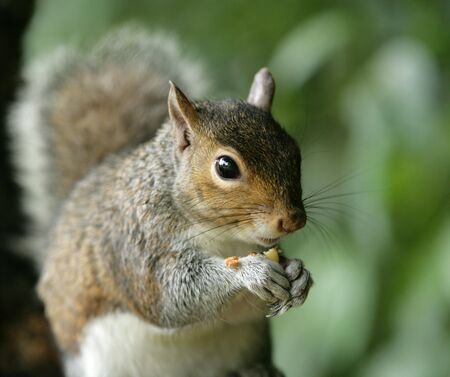 Portrait of a Grey Squirrel Stock Photo - 7084895