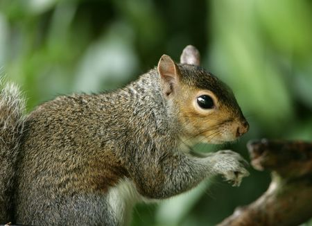 Portrait of a Grey Squirrel Stock Photo - 7084897