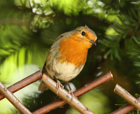 Portrait of a Robin Stock Photo - 7302690