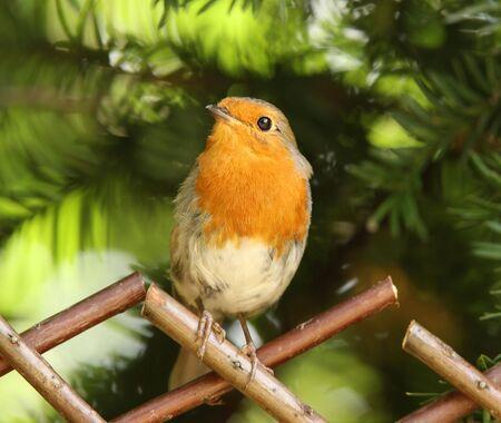 Portrait of a Robin Stock Photo - 7302693
