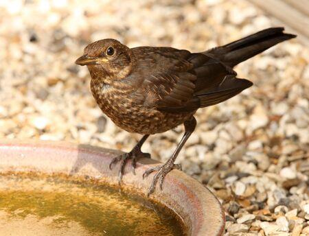 Young Blackbird having a drink Stock Photo - 7341390