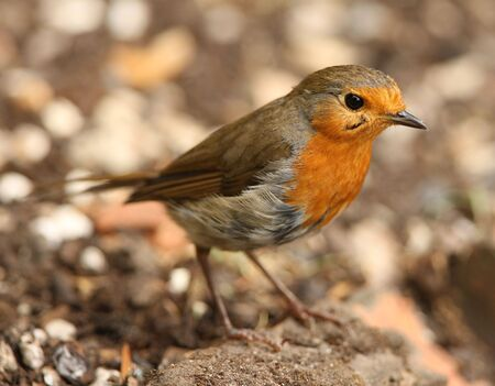Portrait of a Robin photo