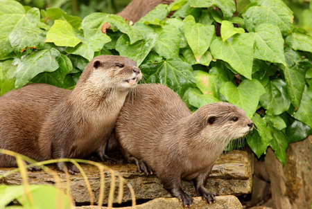 A pair of European Otters Stock Photo - 7387958