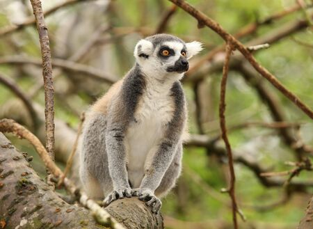 Portrait of a Ring Tailed Lemur Stock Photo - 7387956