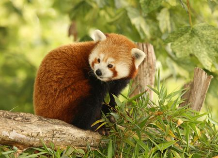 Portrait of a Red Panda Stock Photo - 7387957