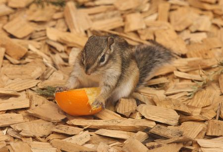 A Chipmunk eating an orange Stock Photo - 7473435