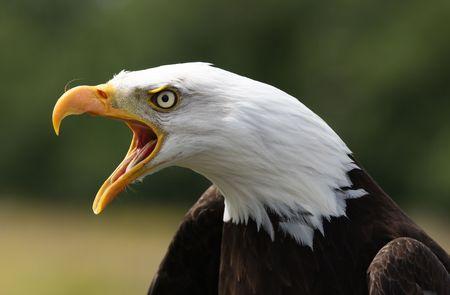 aguila americana: Llamada de águila calva  Foto de archivo