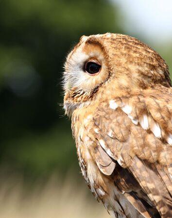 tawny: Tawny Owl Stock Photo