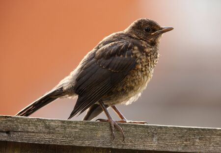 Portrait of a young Blackbird Stock Photo - 7651531