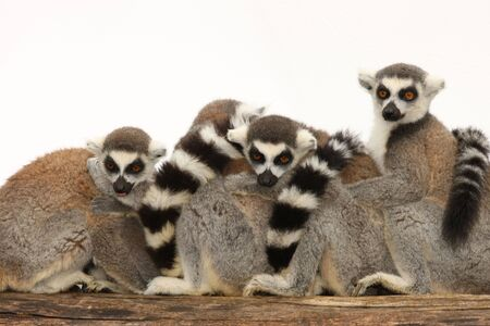 A family of Ring Tailed Lemurs Stock Photo - 7651533