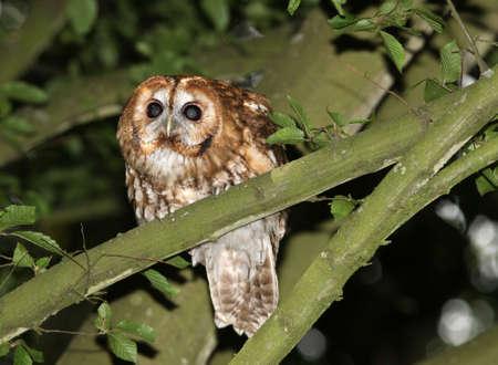tawny: Portrait of a Tawny Owl