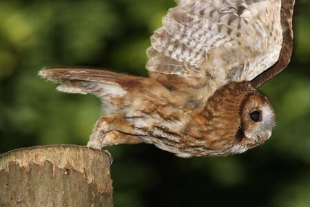 Portrait of a Tawny Owl in flight photo