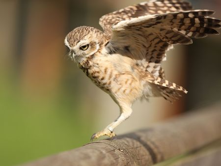 Portrait of a Burrowing Owl landing on a fence