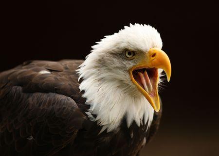 black beak: Portrait of a Bald Eagle calling Stock Photo
