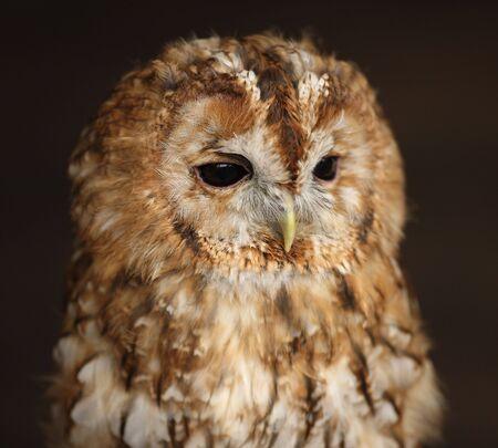 Portrait of a Tawny Owl photo