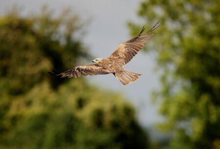 Black Kite in flight Stock Photo - 7857078