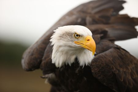 eagle feather: Portrait of a Bald Eagle Stock Photo