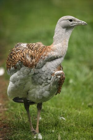 Portrait of a Great Bustard photo