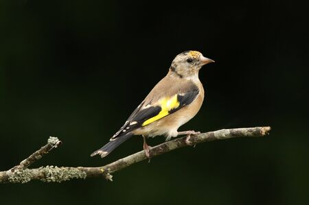 Portrait of a young Goldfinch photo