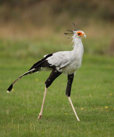 Portrait of a Secretary Bird