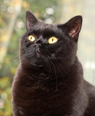 Portrait of a male British Shorthair Cat