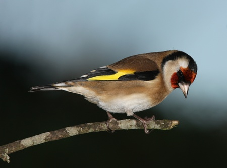 Goldfinch Фото со стока