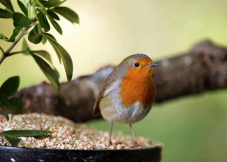 Portrait of a Robin Stock Photo - 9432712