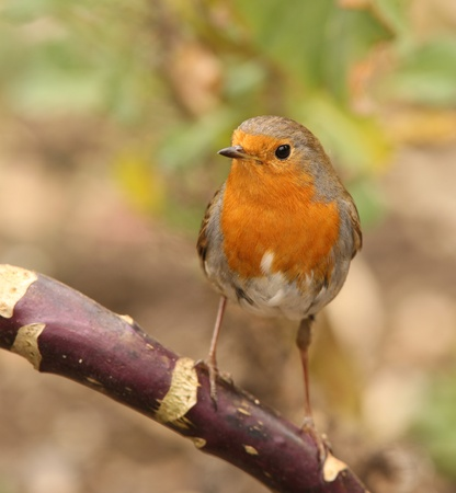 Portrait of a Robin Stock Photo