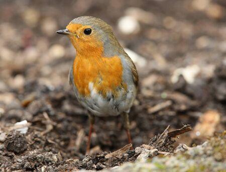 Portrait of a Robin photo
