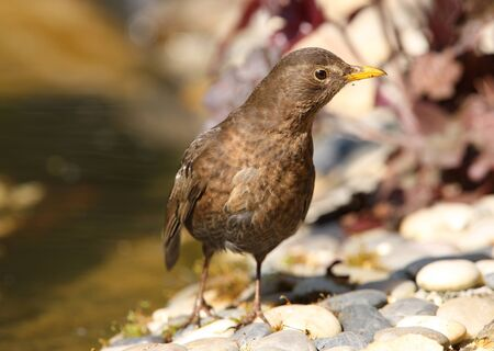Portrait of a female Blackbird Stock Photo - 9432719