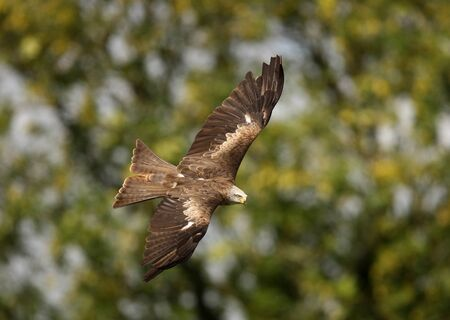 Close up of a Black  Kite in flight Stock Photo - 9511657