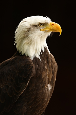 bald head: Portrait of a Bald Eagle Stock Photo