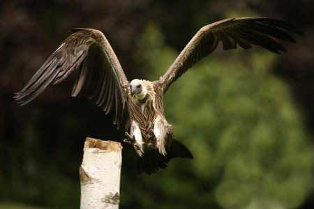 Griffon Vulture in flight Stock Photo - 9569426