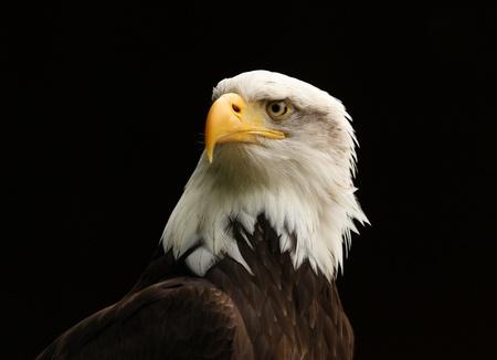 Portrait of a Bald Eagle photo