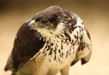 Portrait of a Saker Falcon Stock Photo - 9569453