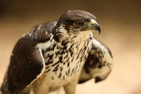 Portrait of a Saker Falcon Stock Photo - 9569455
