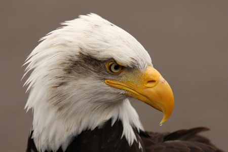 Portrait of a Bald Eagle photo