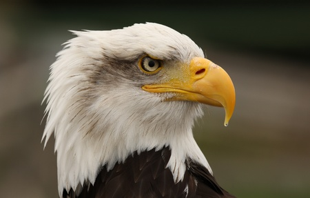 Portrait of a Bald Eagle Stock Photo - 9894252